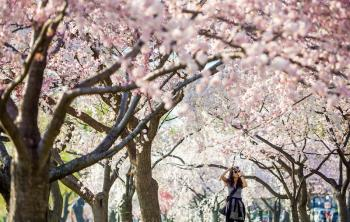 a girl taking pictures of the cherry blossoms